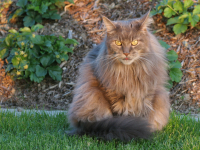 Maine Coon Kitto